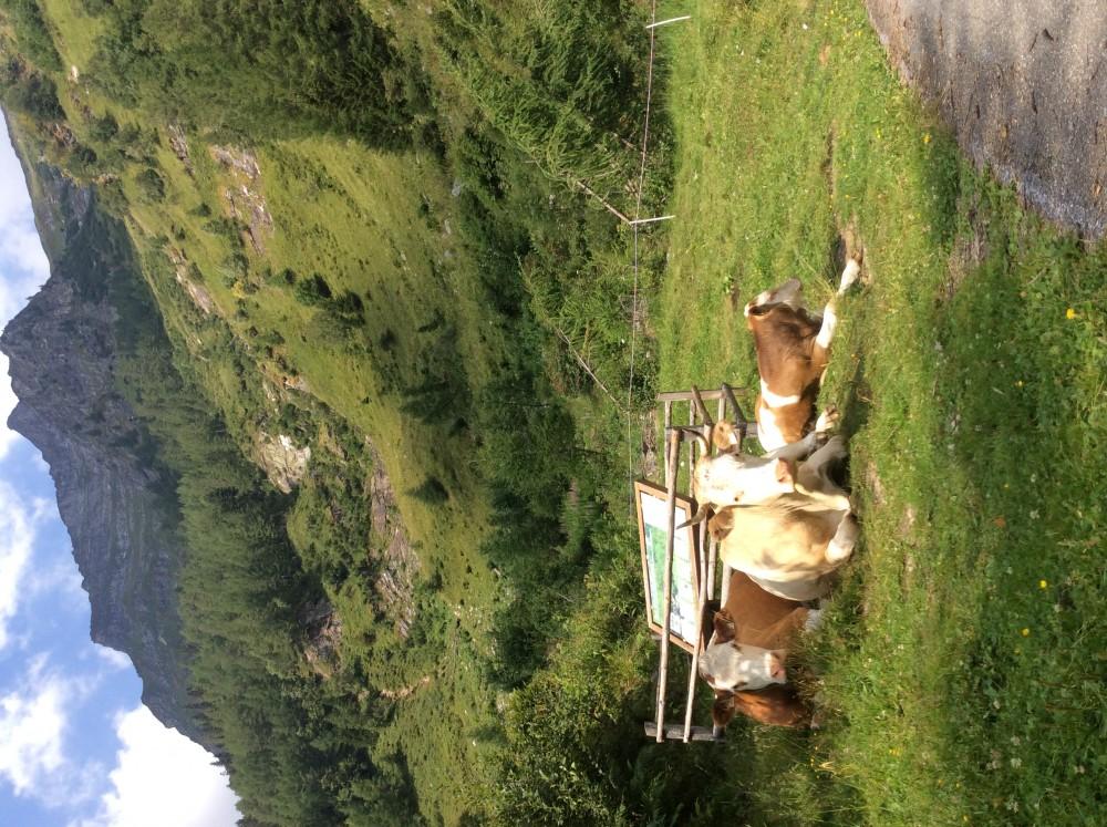 Помогу Павлу с коровами